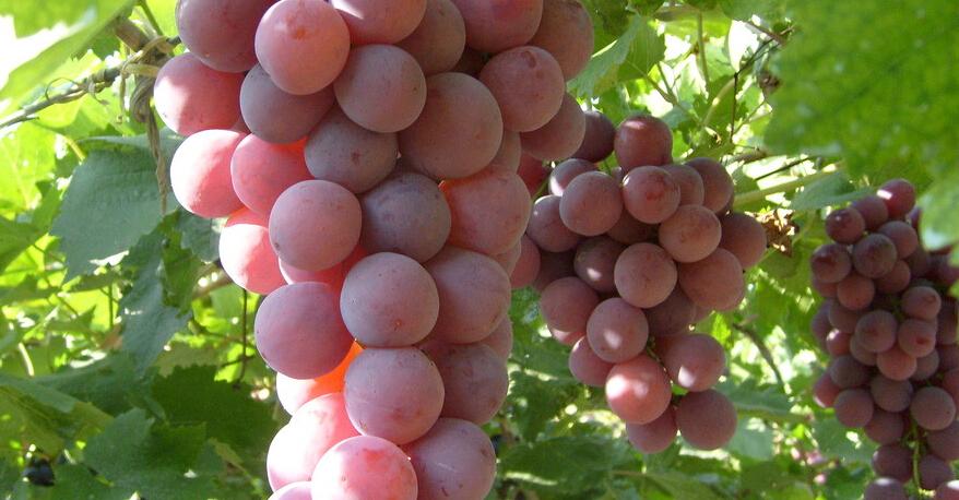 胰腺炎恢复期可以吃葡萄吗