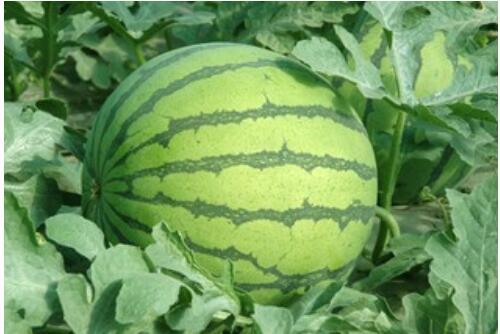 急性胰腺炎病人出院后可以吃西瓜吗